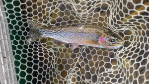 Netted-Cutthroat
